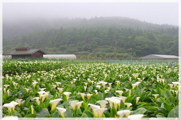 2013單寧女孩在竹子湖芋見愛‧情 (157).JPG